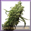 Dutch Passion Dark Delight Female 5 Seeds